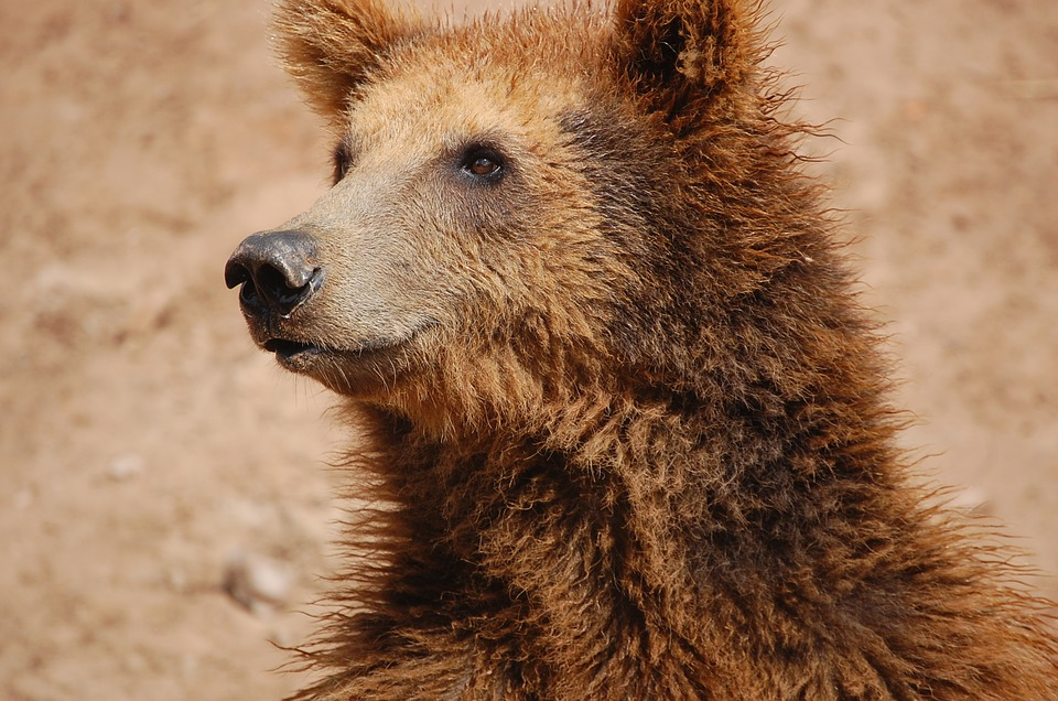 Brown Bear In Europe - British Animals and UK Wildlife