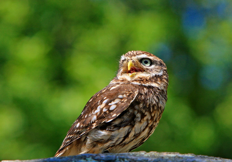 The Little Owl UK Facing Into The Distance - British Animals and UK Wildlife