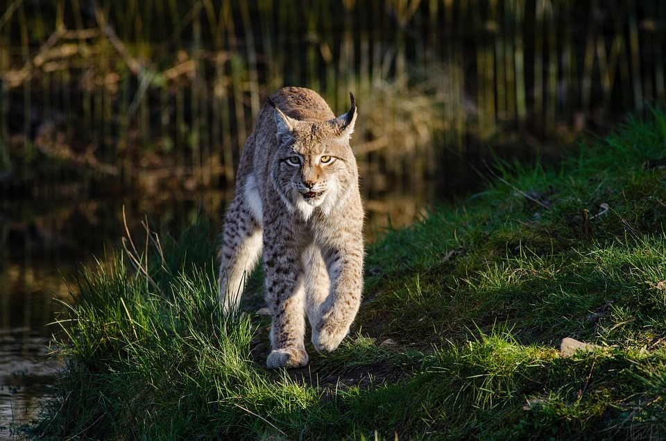 Eurasian Lynx Walking - - British Animals and UK Wildlife