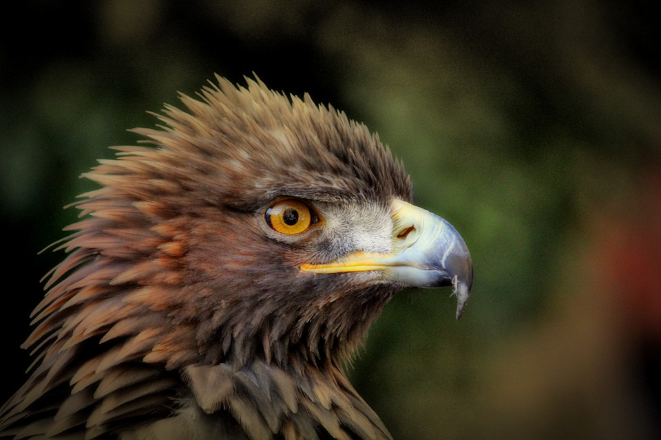 The Golden Eagle Side Profile - Birds of prey in Scotland - British Animals and UK Wildlife