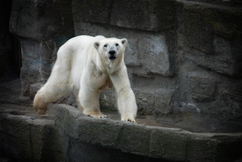 Polar Bear In Zoo - Best Zoos In The UK - Pros and Cons of Zoos